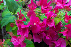 Flowering bougainvillea Royalty Free Stock Photo
