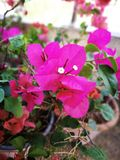 Flowering bougainvillea. Fuchsia bougainvillea flowers Stock Image