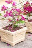 Flowering bougainvillea Royalty Free Stock Photos