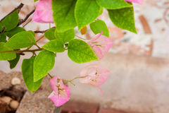 Flowering bougainvillea Royalty Free Stock Images