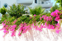 Flowering bougainvillea near apartment complex Stock Image