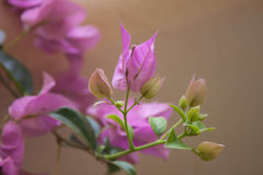 Flowering bougainvillea Stock Photos