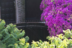 Flowering bougainvillea plant. Dense fuchsia color flowering bougainvillea plant overhanging brown garden gate, green leaves in the foreground Stock Image