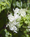 Flowering bougainvillea Stock Images
