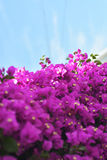 Flowering bougainvillea and Vine roots. Image of a bright Bougainvillea plant, popular in Greece Royalty Free Stock Photos