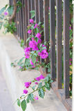 Flowering bougainvillea and Vine roots. Image of a bright Bougainvillea plant, popular in Greece Stock Photography