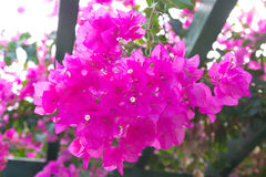 Flowering bougainvillea. Wild blossom. Selective focus Stock Photo