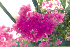 Flowering bougainvillea. Wild blossom. Selective focus. Toned Royalty Free Stock Photos