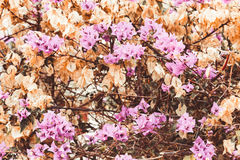 Flowering bougainvillea. Wild blossom. Selective focus. Toned Stock Images