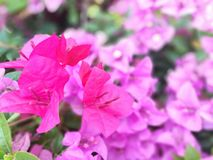 Flowering bougainvillear. Pink bougainvillea flower close up Royalty Free Stock Images
