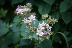 Flowering boysenberry plant on a branch in a garden. Growing organic food nature background royalty free stock photo