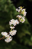Flowering Bradford Pear Limb Royalty Free Stock Photo
