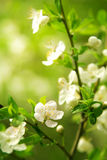 Flowering branch Royalty Free Stock Photos