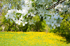 Flowering branch Stock Photography