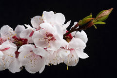 Flowering branch. With blossom out leafs on dark background Royalty Free Stock Photos
