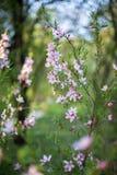 Flowering branch Royalty Free Stock Image