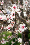 Flowering branch, almond tree Royalty Free Stock Photo