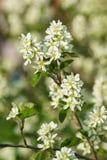 Flowering branch of amelanchier lat. Amelanchier in the garden Stock Photo