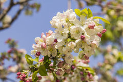 Flowering branch of apple against the blue sky in spring Royalty Free Stock Photo