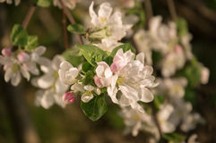 Flowering branch of apple Royalty Free Stock Images