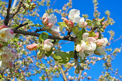 Flowering branch of apple Royalty Free Stock Photography