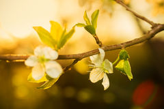 Flowering branch of apple in the rays of the setting sun. Flowering branch of apple in the rays of the setting sun spring evening Royalty Free Stock Image