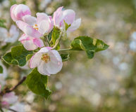 Flowering branch of apple Royalty Free Stock Image