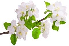 Flowering branch of apple-tree. Closeup on white stock photos