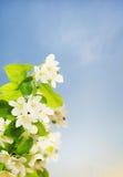 Flowering branch of apple tree against sky Royalty Free Stock Image
