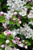 Flowering branch of apple tree Stock Photos