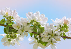 Flowering branch of apple-tree on a blue -pink background Stock Photo