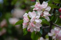 Flowering branch of apple tree on the left on a blurred background. stock photos