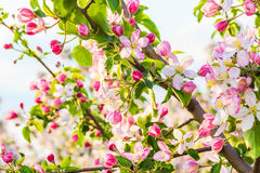 Flowering branch of apple-tree Royalty Free Stock Image