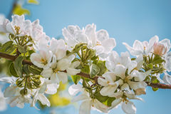 Flowering branch of apple-tree on the sky background, photo tone Stock Photography