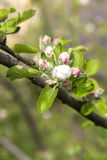 Flowering branch of apple tree Stock Image