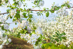 Flowering branch of apple-tree in the spring garden Stock Photography