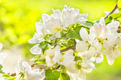 Flowering branch of apple-tree in a spring, macro Royalty Free Stock Photos