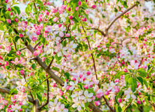Flowering branch of apple-tree in spring Royalty Free Stock Image