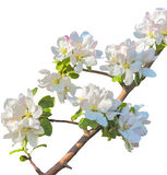 Flowering branch of apple tree on a white background Royalty Free Stock Images