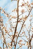 Flowering branch of apricot. On background of blue sky Royalty Free Stock Photography
