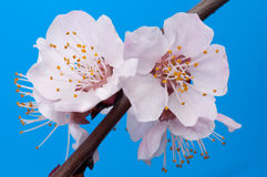 Flowering branch of apricot close up Royalty Free Stock Image
