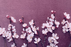 Flowering branch of apricot on fabric stock photography