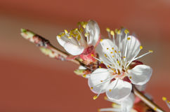 Flowering branch of apricot Royalty Free Stock Photography