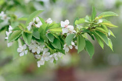 Flowering branch of apricot Stock Image