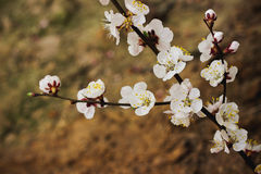 Flowering branch of apricot Stock Photos