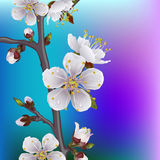 Flowering branch of apricot. Spring background vector illustration