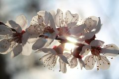 Flowering branch of apricot. Spring. Spring sky. Apricot branch. Flowers of apricot. Sky. Clouds. Delicate flowers. Blooming tree. Flowering branches. Spring stock photo