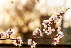 Flowering branch of apricot at sunset. Backlit Royalty Free Stock Photography