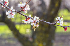 Flowering branch of apricot tree on blurred background orchard, Stock Photography