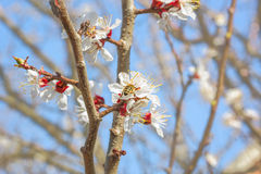 Flowering branch of an apricot-tree in spring orchard Royalty Free Stock Image